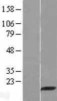 NBL1-14269 - PDZ domain containing 11 Lysate