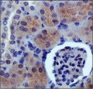 NB400-149 - PDZK1-interacting protein 1