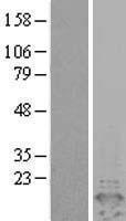 NBL1-14273 - PEA15 Lysate