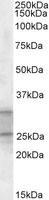 NBP1-46155 - PEBP4