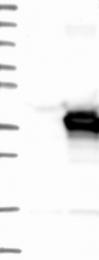 NBP1-83198 - PECR