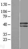 NBL1-15854 - PEDF Lysate
