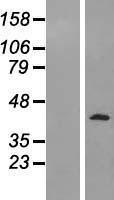 NBL1-14284 - PELO Lysate