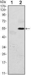 NBP1-51661 - EIF2AK3
