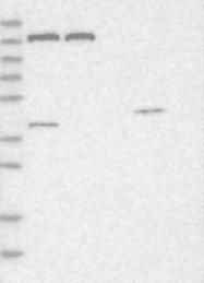 NBP1-80577 - Peroxin 1 / PEX1