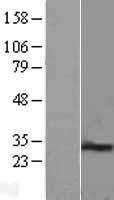 NBL1-14294 - PEX11B Lysate