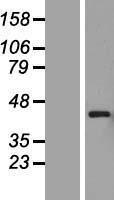 NBL1-14296 - PEX12 Lysate