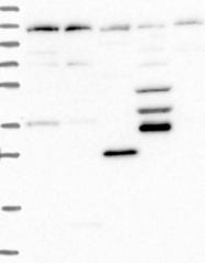 NBP1-85828 - Peroxin 16 / PEX16