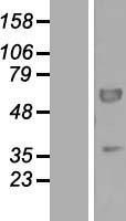 NBL1-14299 - PEX16 Lysate