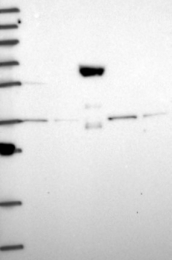 NBP1-92255 - Peroxin 19 / PEX19
