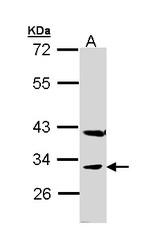 NBP1-32925 - Peroxin 19 / PEX19