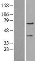 NBL1-14303 - PEX3 Lysate