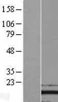 NBL1-14307 - PFDN2 Lysate