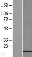 NBL1-14310 - PFDN6 Lysate