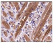 NBP1-49532 - PGAM1