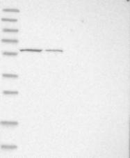 NBP1-83441 - PGBD3