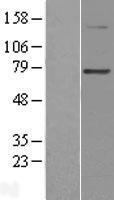 NBL1-14326 - PGBD3 Lysate