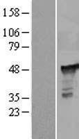 NBL1-14329 - PGD Lysate