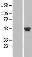 NBL1-14332 - PGK2 Lysate