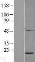 NBL1-08123 - PGL2 Lysate