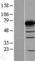 NBL1-14338 - PGM2 Lysate