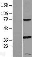 NBL1-14941 - PGR1 Lysate