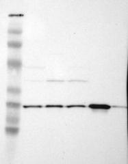 NBP1-83220 - PGRMC1