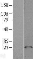 NBL1-14341 - PGRMC1 Lysate