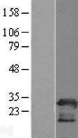 NBL1-14342 - PGRMC2 Lysate