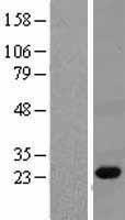 NBL1-14334 - PGRP Lysate