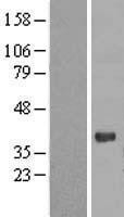 NBL1-14336 - PGRP1A Lysate