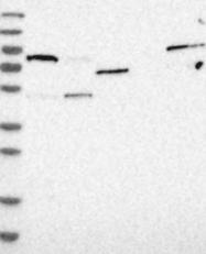 NBP1-85022 - PGS1
