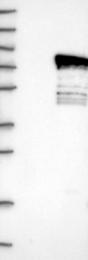 NBP1-84232 - PHACTR1