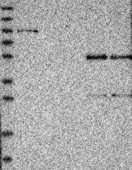 NBP1-85186 - PHACTR1