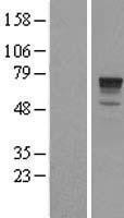 NBL1-14345 - PHACTR1 Lysate