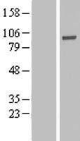NBL1-14347 - PHACTR4 Lysate