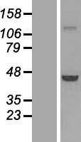 NBL1-15472 - PHAX Lysate