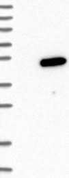 NBP1-81077 - PHF13