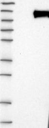 NBP1-81531 - PHF15 / JADE2