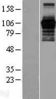 NBL1-14355 - PHF15 Lysate