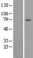 NBL1-14357 - PHF21A Lysate