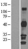 NBL1-14362 - PHF7 Lysate