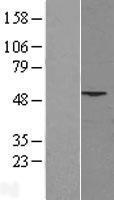 NBL1-14367 - PHLDA1 Lysate