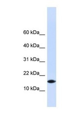 NBP1-56772 - PHLDA3