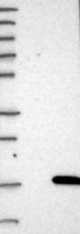 NBP1-80683 - PHLDA3