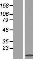 NBL1-14369 - PHLDA3 Lysate