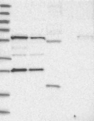 NBP1-81168 - PHOSPHO2