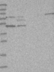 NBP1-84858 - PHYHIPL