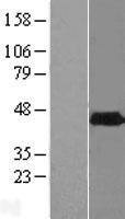 NBL1-14377 - PHYHIPL Lysate