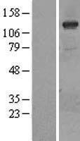 NBL1-14418 - PI 3 Kinase catalytic subunit gamma Lysate
